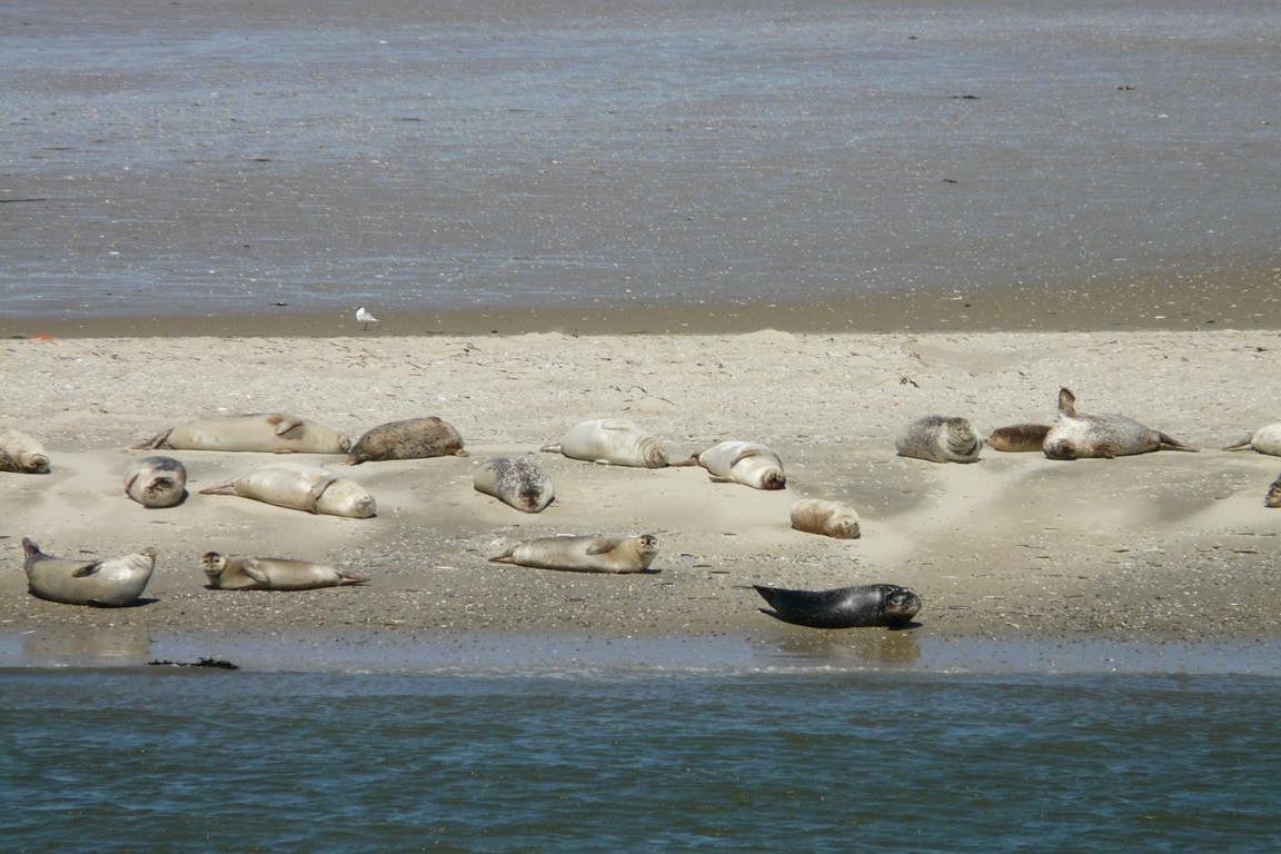 Cadzand-Bad - Tiere am Strand
