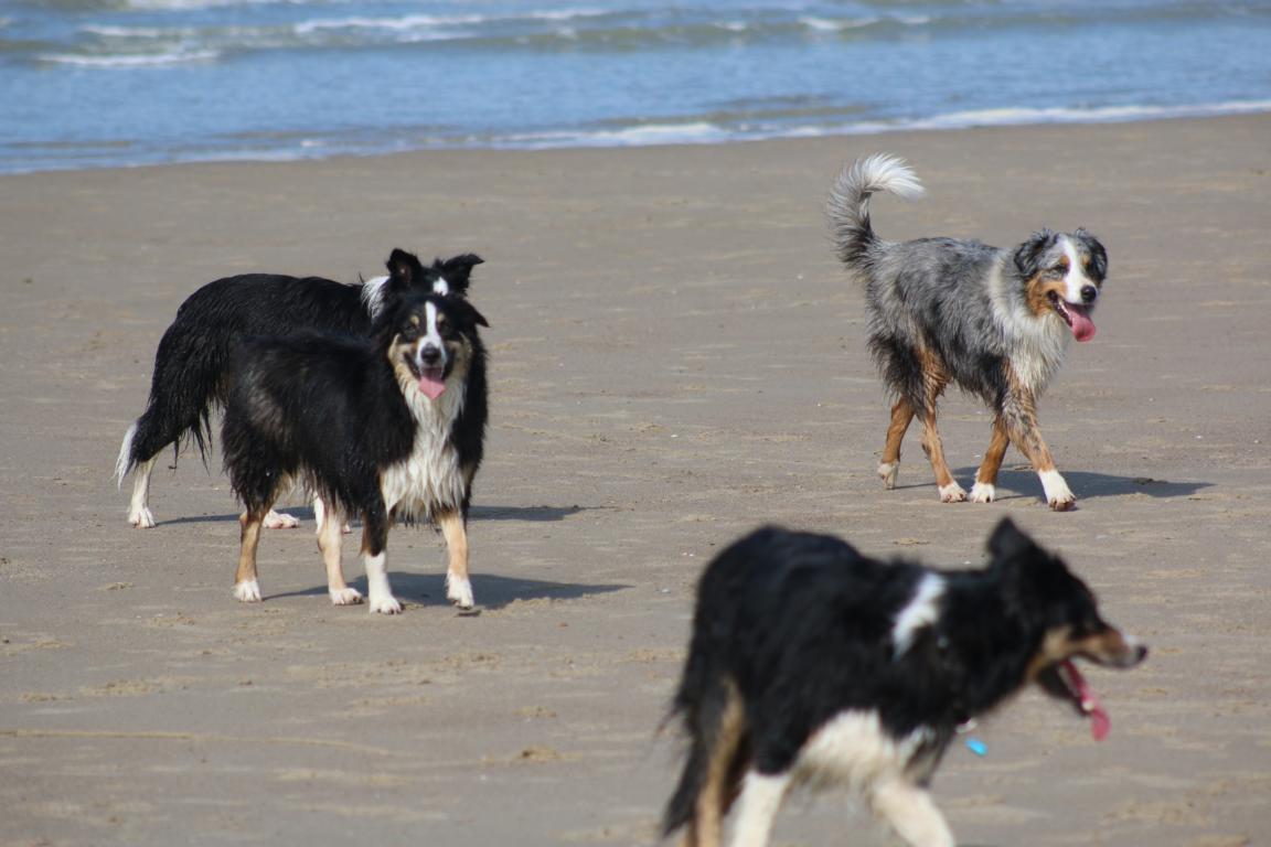 Cadzand-Bad: Hunde am Strand