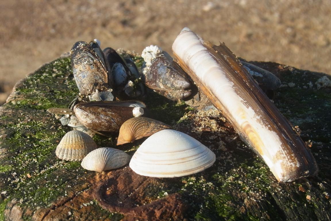 Cadzand-Bad: Muscheln auf Wellenbrecher